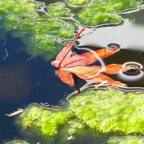 how to get rid of red algae in pond